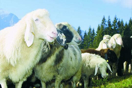 肌膚要還「羊」 新鮮活細胞療法