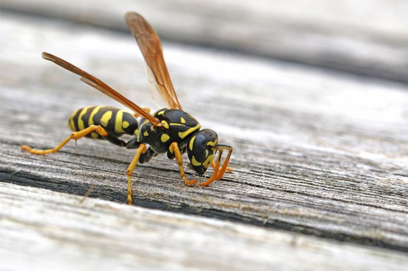 黃蜂出沒注意 專家教路:保持冷靜 不宜有大動作