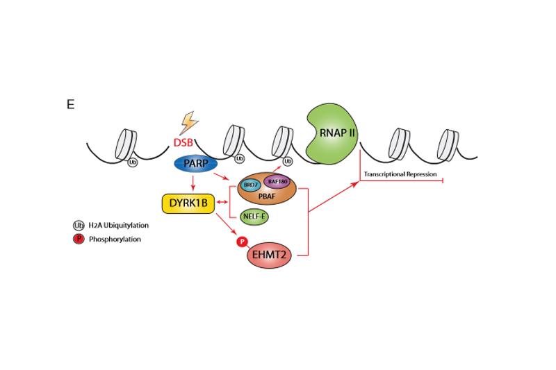 【癌症治療】港大解構DNA修復機制 有望早期癌症病變檢測