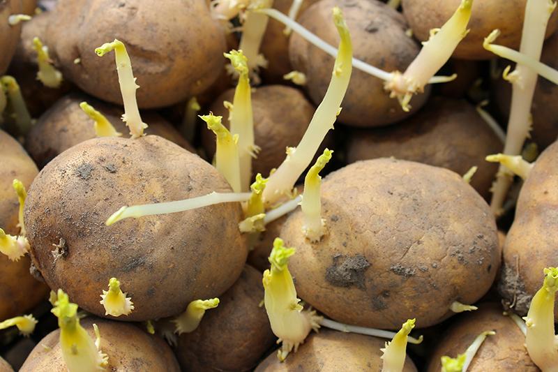 【食物安全】薯仔發芽會有毒 教你一招預防馬鈴薯發芽