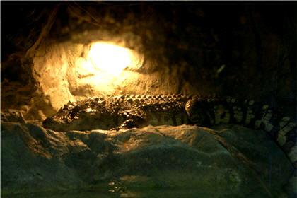 【鱷魚肉湯水】分辨真假鱷魚肉貼士