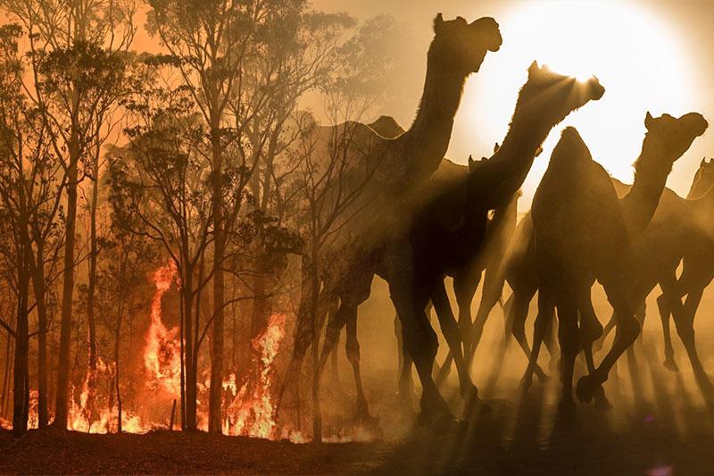 澳洲大火連連  南澳洲政府決定撲殺駱駝以防與人類爭奪水源