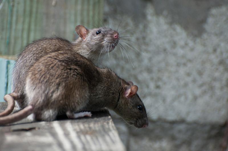 長期病患79歲男子染大鼠戊型肝炎 4大病徵要留意